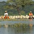 Mudanças na forma de criar gado no Pantanal mato-grossense é a maior responsável pelo desmatamento na região. A pastagem nativa foi substituída pelo capim exótico para atender as necessidades do […]