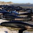 Após os esforços frustrados para salvar centenas de baleias na costa da Nova Zelândia, agora as equipes de resgate têm uma outra tarefa difícil pela frente: remover as carcaças dos […]