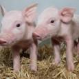 Uma técnica de edição de genoma produziu porcos que poderiam ser resistentes a um vírus que infecta os porcos que é frequentemente fatal e custa aos criadores europeus US$ 1,6 […]