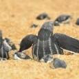 Mais de 60 tartarugas cabeçudas nasceram, nesta terça-feira (7), por volta das 20h30, na Praia de Camburi, próximo ao Quiosque 1, em Vitória. As imagens mostram as tartarugas minutos depois […]