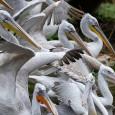 O zoológico Schönbrunn de Viena sacrificou nesta sexta-feira (10) seus 20 pelicanos-crespos por um surto de gripe aviária, depois de exames realizados quinta-feira apontarem que as aves testaram positivo para […]