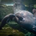 """Os peixes-boi não são mais uma espécie """"em perigo"""" de extinção, disseram autoridades americanas nesta quinta-feira (30), declarando sucesso após décadas de esforços para recuperar a população desses animais na […]"""