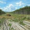 Cinco dias de trabalho com máquinas trabalhando 24 horas por dia, 2.200 litros de combustível consumidos, 50 horas efetivas de corte, média de 700 árvores por hora, aproximadamente 35.500 árvores […]