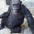 04/04/2017: A data entrará na história mundial da luta pela liberdade e pelos direitos dos animais não humanos. A chimpanzé Cecília, que vivia no zoológico de Mendoza, na Argentina, chega […]