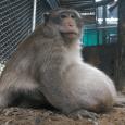 """Macacos selvagens são comuns na Tailândia, e costumam ser alimentados pelos turistas. Eles geralmente deveriam pesar 9 kg, mas Tio Gordo chegou a 26 kg. """"Não foi fácil pegá-lo"""", disse […]"""