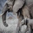 Entrevista com a ativistaPaula Kahumbu, da ONG WildLifeDirect, que já atuou no controle do marfim para o governo do Quênia agora dedica seu trabalho para a preservação de elefantes e […]