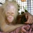 """Um grupo de proteção aos animais nomeou nesta terça-feira (16) de """"Alga"""" um orangotango albino encontrado na floresta de Bornéu, no último dia 29 de abril. Considerado um grande feito […]"""