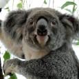O coala, o mamífero símbolo da Austrália, corre o risco de desaparecer de certas pontos do país por causa do desmatamento provocado pela urbanização e o desenvolvimento agrícola e da […]