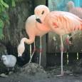 Flamingos gastam menos energia quando estão de pé numa perna só do que quando estão sobre duas pernas, dizem cientistas. A postura é típica desses pássaros, mas nunca se soube […]