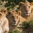 A polícia da África do Sul procura por cinco leões que escaparam do Parque Nacional Kruger, no nordeste do país e perto da fronteira com Suazilândia, o que poderia colocar […]
