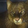 Um gato-mourisco, da família do Puma, foi resgatado nesta quinta-feira (1°) pelo Corpo de Bombeiros no prédio do Porto Oficial de Guajará-Mirim (RO), município localizado na fronteira com a Bolívia, […]