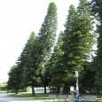 Originário da Nova Caledônia, um arquipélago tropical no sudoeste do oceano Pacífico, o pinheiro-de-cook pode ser visto hoje em diferentes partes do mundo. A espécie, da família das coníferas, é […]