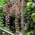 Armadilhas fotográficas registraram três espécimes de onça-vermelha próximos de câmeras na Reserva de Desenvolvimento Sustentável Amanã, estado do Amazonas. Atividade matinal e em bando é considerada incomum por especialistas Primeiro, […]