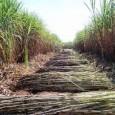 Entre 1990 e 2015, as emissões de gases de efeito estufa (GEE) geradas pela colheita da cana-de-açúcar foram reduzidas em 44% no Estado de São Paulo. O registro consta de […]