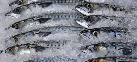 O esgotamento mundial dos cardumes, a redução na diversidade do que é pescado e a diminuição no tamanho dos peixes capturados são grandes desafios para a atividade pesqueira. O enfrentamento […]
