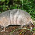 O declínio no tamanho das populações de animais vertebrados chegou a 60% em 40 anos. Nos trópicos, principalmente nas Américas Central e do Sul, a redução chega a 89% desde […]