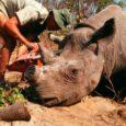 Após 25 anos de proibição, a China acaba de reautorizar parcialmente o comércio de chifre de rinocerontes e de ossos de tigres do país. A decisão foi submetida a diversas […]