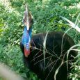 O Zoológico Municipal de Bauru (SP) anunciou que conseguiu sucesso na reprodução do casuar, espécie de ave gigante ameaçada de extinção. O parque bauruense é o segundo no Brasil a […]