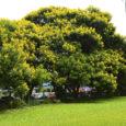 Vegetação no meio urbano: essencial ao ecossistema [EcoDebate] Chegando em minha casa, vejo minha vizinha esbravejando com a árvore que fica em minha rua. Ela estava entediada com as folhas […]