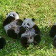 A mudança de classificação das autoridades chinesas se deu à medida que o número de pandas na natureza atingiu 1,8 mil. Por BBC, extraído do G1 Natureza Ospandas gigantesnão são […]