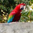 Ave aparece todos os dias pela manhã e é alimentada com frutas pela moradora. Por Caroline Mesquita, G1 MT Uma arara vermelha, apelidada de 'Lara' ou 'Loro', aparece todos os […]