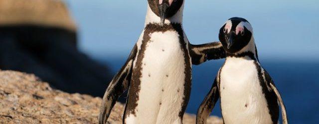 Sessenta e três pinguins africanos ameaçados de extinção foram mortos por um enxame de abelhas em um caso raro perto da Cidade do Cabo, uma das maiores cidades da África […]