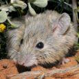 Uma espécie de rato australiano, dada como extinta há 125 anos, reapareceu na ilha de Shark Bay, Austrália. Outros reaparecimentos têm ocorrido por todo o mundo na natureza e surpreendido […]
