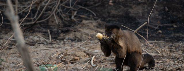 Macacos-pregos ficam entusiasmados após verem que o Grupo de Resgate de Animais em Desastres estava com frutas e param de evitar contato. Escassez de alimentos explica mudança no comportamento por […]