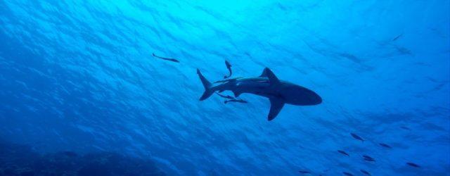 Uma fêmea de tubarão deu à luz num aquário italiano sem ter se acasalado com nenhum macho. Caso não é inédito, mas ainda não foi inteiramente explicado pela ciência. Por […]